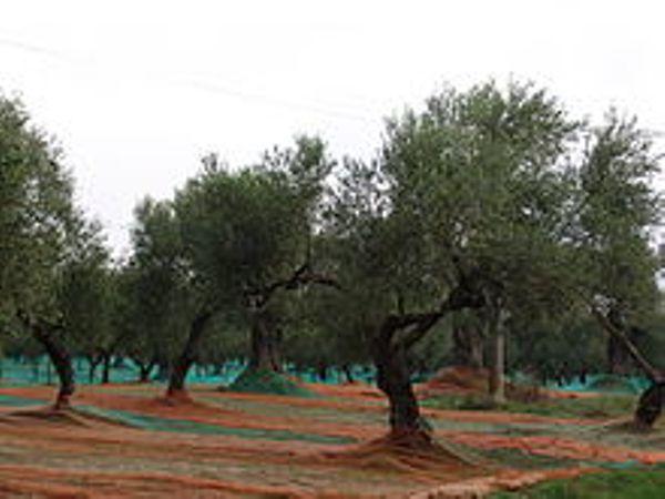 Vendita Oliveto – località Lu Padru – Sorso