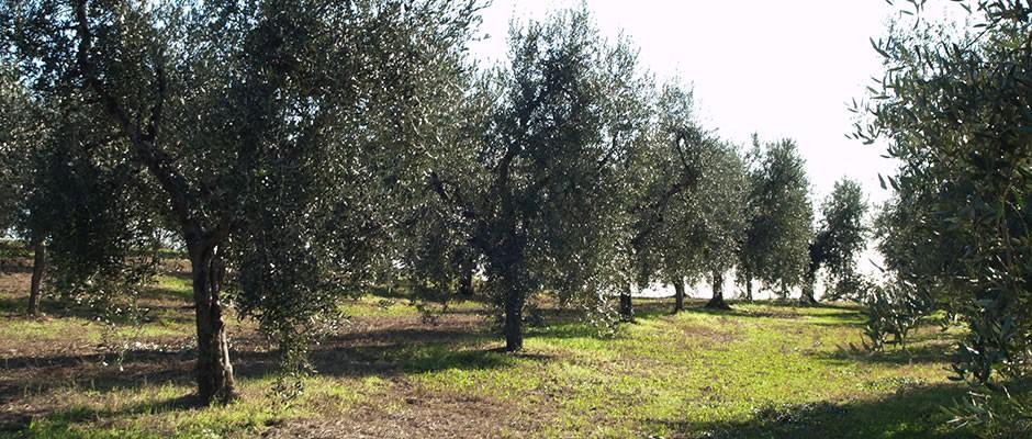Vendita Oliveto – località Giannecca – Sorso